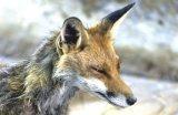 Από τον Οκτώβριο 2012 ως σήμερα 44 λυσσασμένες αλεπούδες