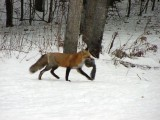 ΚΕΕΛΠΝΟ: Εργαστηριακά επιβεβαιωμένα κρούσματα λύσσας σε ζώα στηνΕλλάδα