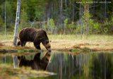 Γρεβενά: Συνύπαρξη ανθρώπου –αρκούδας