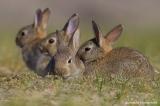 Εξαφανίστηκαν τα κουνέλια από τη Λήμνο; Τι λένε οικυνηγοί