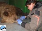 Μια αρκούδα και το μικρό της νεκρά από «φόλα» σταΓρεβενά