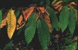 Βιολογική καταπολέμηση του έλκους της καστανιάς από το Δασαρχείο Τρικάλων