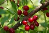 Ημερίδα για τις δυνατότητες και προοπτικές της καλλιέργειας τηςκρανιάς