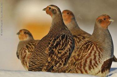 Perdrix grise - oiseaux.net