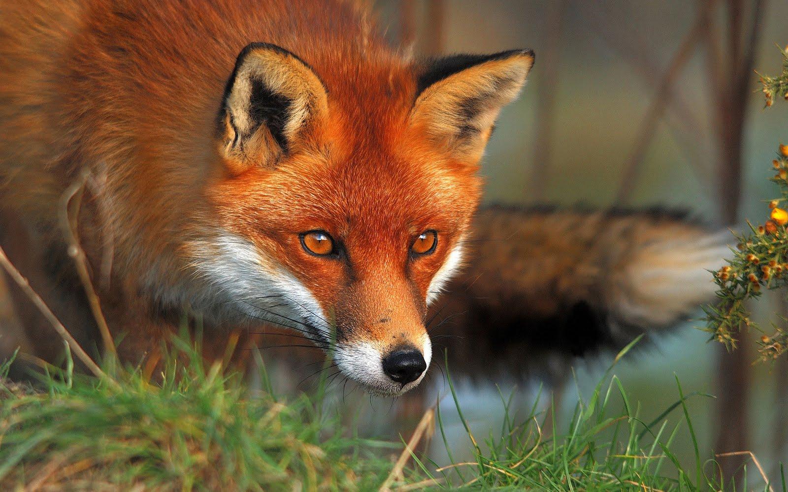 εμβολιασμος των αλεπούδων με εναέρια διανομή των εμβολίων-δολωμάτων