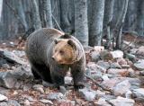Αρκούδα 200 κιλών εγκλωβίστηκε σε παγίδα στηνΚοζάνη