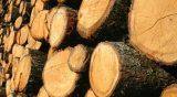 Ακάθεκτοι οι λαθροϋλοτόμοι, άλλοι 50 τόνοι παράνομης ξυλείας