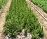 Διάθεση δασικού φυτευτικού υλικού από το Δασικό ΦυτώριοΛάρισας