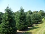Άρχισε η υλοτομία των 151.728 χριστουγεννιάτικων δέντρων