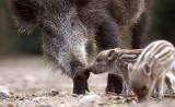 Ανησυχία κυνηγών για το κρέας του αγριογούρουνου – SOS για ζαρκάδια