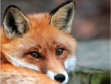 Ξεκινά το πρόγραμμα εμβολιασμού των αλεπούδων κατά τηςλύσσας