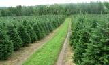 Τα χριστουγεννιάτικα έλατα του Ταξιάρχη κατακτούν την αγορά τηςΓερμανίας