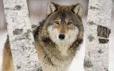 Κυβερνητικό σχέδιο εξόντωσης λύκων μεελικόπτερα