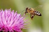 Μέλισσες υπό απειλή
