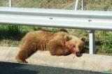Μια ακόμη αρκούδα νεκρή στην ΕγνατίαΟδό