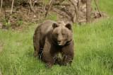 Θετικό το ΥπΑΑΤ στη διεύρυνση της προστασίας από την αρκούδακαι της φυτικήςπαραγωγής