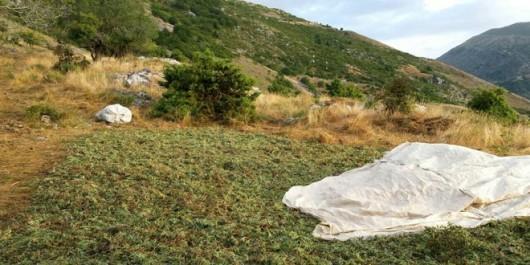 Η Βελγική L' Echo, αποκαλύπτει το κύκλωμα αρωματικών φυτών στην Ελλάδα
