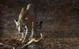 Ανθρωποφάγος λεοπάρδαλη τρομοκρατεί ταΙμαλάια