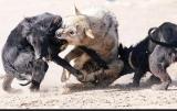 Επιθέσεις λύκων σε σκυλιά στονΈβρο