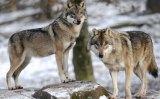 Μαθήματα συνύπαρξης με..λύκους