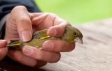 Προειδοποιητική επιστολή για την παγίδευση ωδικών πτηνών από την Ευρωπαϊκή Επιτροπή