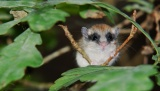 Ο Δενδρομυωξός ένας «ποντικός» που ζει σε βελανιδιές