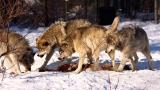 Αυξημένες επιθέσεις λύκων σε κυνηγόσκυλα στον Έβρο καταγγέλουν οικυνηγοί