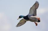 «Θερίζει» η γρίπη των πτηνών στη Βουλγαρία – Απαγορεύτηκε το κυνήγι πτερωτώνθηραμάτων