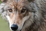Οι λύκοι έχουν περισσότερες από 2.000 διαφορετικές«διαλέκτους»