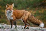 Συμμετοχή κυνηγών στη συλλογή δειγμάτων θανατωθέντων αλεπούδων επ' αμοιβή στο Ν.Καρδίτσας