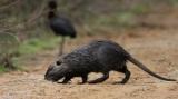 Μυοκάστορας: Μια νέα κρυφή απειλή για την χλωρίδα και την πανίδα στο Δέλτα του ποταμούΈβρου