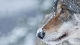 Λύκοι – Κυνηγοί 1:0 στηνΝορβηγία