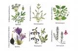 Ματζουράνα – Eλληνικά αρωματικά φυτά και η χρήση τους στηδιατροφή