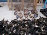 Απίστευτη υπόθεση λαθροθηρίας: Τον τσάκωσαν με 5 λαγούς και 500πουλιά