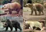 Τι συμβαίνει όταν μια πολική αρκούδα διασταυρώνεται μεκαφέ