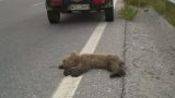 Νεκρό αρκουδάκι, θύματροχαίου