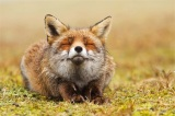 Φωτογραφίες: οι αλεπούδες είναι τα πιο ζενζώα