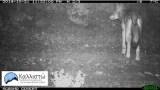 Σχετικά με δημοσιεύματα για την θήρευση ελαφιών από λύκους στηνΠάρνηθα