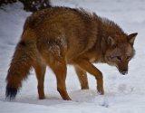 Ένα νέο είδος γεννιέται από τη διασταύρωση κογιότ, λύκων καισκύλων