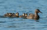 Εντυπωσιακές καταγραφές υδρόβιων πουλιών στο Δέλτα τουΈβρου