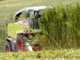 Οι Οικολόγοι Πράσινοι για την καλλιέργεια κλωστικήςκάνναβης
