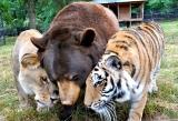 Η ασυνήθιστη φιλία ενός λιονταριού, ενός τίγρη και μιαςαρκούδας…