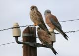 Δημόσια Διαβούλευση για το σχέδιο Υ.Α.: «Περιφερειακό Σχέδιο Δράσης για το Κιρκινέζι (Falco naumanni) στον Θεσσαλικόκάμπο»
