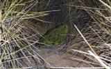 «Κρυφό» καταφύγιο για την προστασία σπάνιουπαπαγάλου