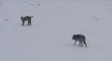 Μία σπάνια συνάντηση ενός λύκου με έναν λύγκα(video)