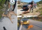 Συχνό φαινόμενο τα τροχαία με θύματα άγριαζώα