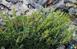 Προστασία αρωματικών φυτών της προστατευόμενης περιοχής Πάρνωνα –Μουστού