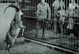 Πως ο αίγαγρος έγινε Κρικρί το1950