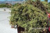 Δραματική μείωση των αρωματικών φυτών στα ελληνικάβουνά