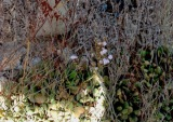 Limonium aphroditae, το σπάνιο είδος με το όνομα της θεάς τηςομορφιάς